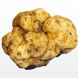 Tuber Gibbosum Mushroom